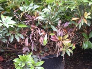 SOD Parke diseased plant
