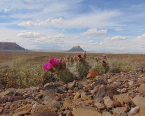 prickly pear cactus at Factory Butte; photo by S.E. Schlarbaum