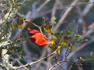 i`iwi birdblogger