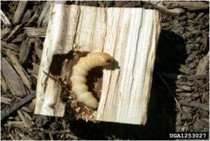 alb_larva